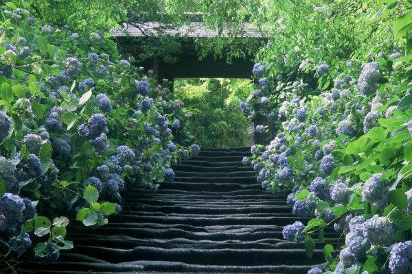 古都・鎌倉で「あじさい寺」として名高い明月院を探訪
